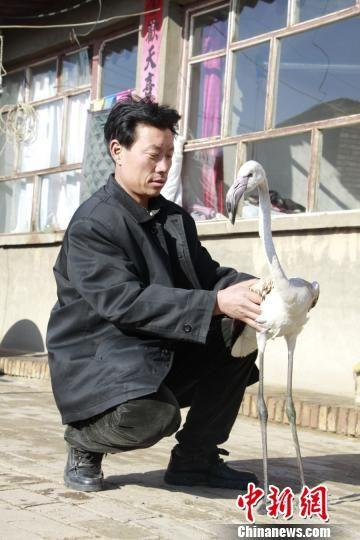 蔚县大酒务头村魏姓村民在自家院中发现了火烈鸟。 杨林 摄