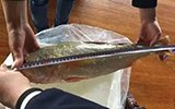渔民捕获66厘米长5斤重野生大黄鱼