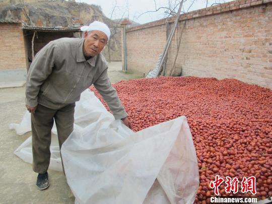 山西临县红枣滞销 无人采收只能喂羊(图)