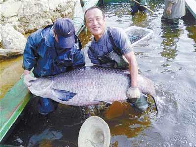 河南一水库捕到超级胖青鱼 重147斤长1.76米