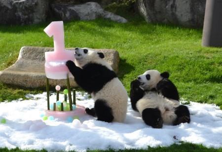 日本动物园为双胞胎熊猫庆生 送特制冰蛋糕(图)