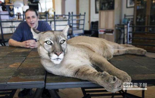 美国男子养90公斤美洲狮当宠物 与其一起游泳