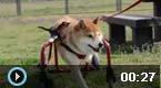 这只柴犬用微笑战胜了残疾
