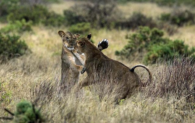 尽管狮子看起来好像在跳舞,但它们的利爪已经暴露出来。 (网页截图)