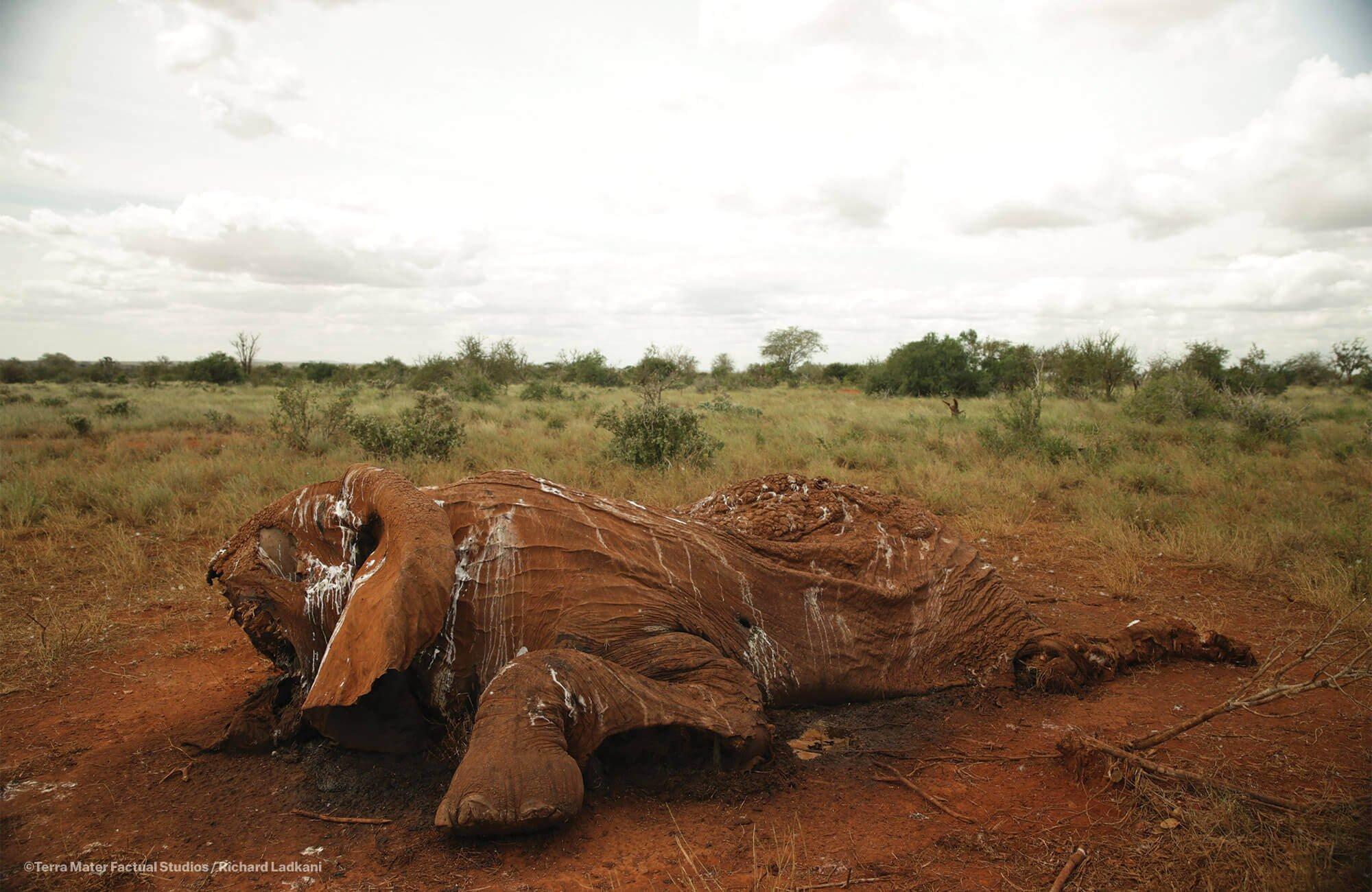 被掠夺象牙后,大象的尸体。由于象牙连着头骨,偷猎者必须砍掉大象的脸才能获得象牙。