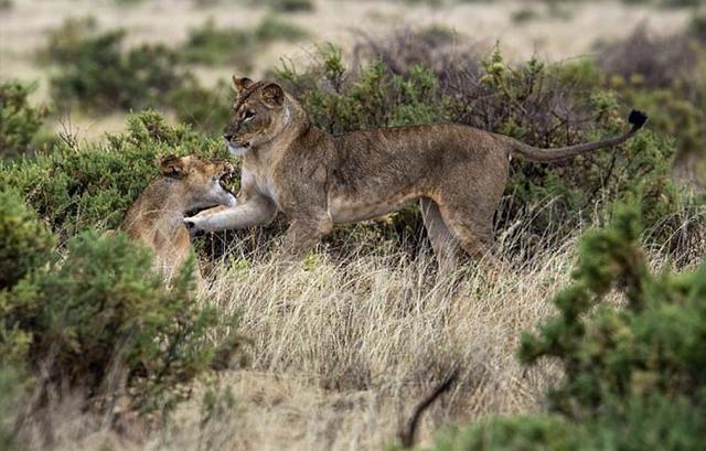 其中一只狮子显然对另一只狮子的舞技感到懊恼。 (网页截图)