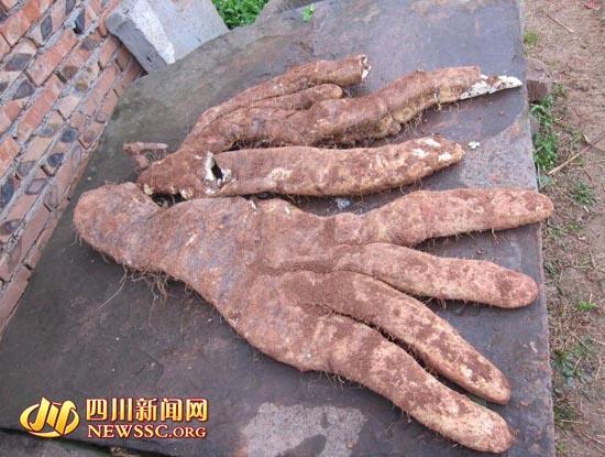 """四川大爷种出29斤奇特蔬菜:长4根""""大手指""""(图)"""