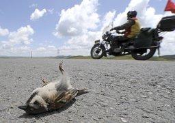 杨涛:野生动物公路伤害