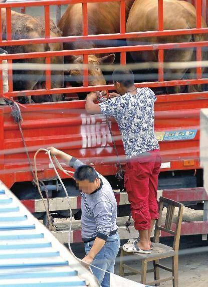 西安现注水牛肉:一米长水管插入牛鼻加压送水