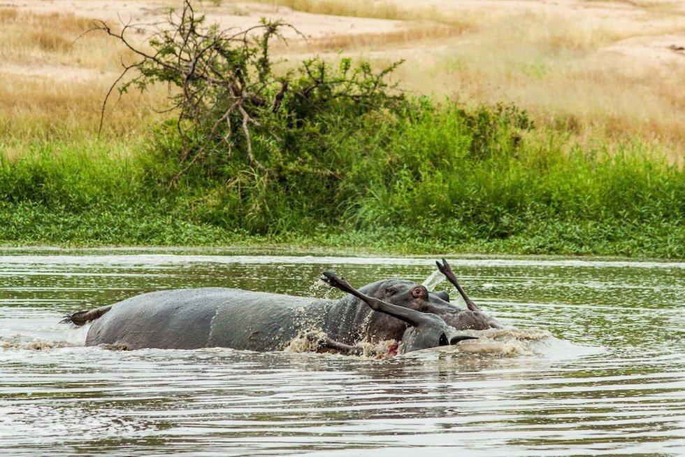 """组图:南非鳄鱼杀戮牛羚 河马来""""帮忙"""" - 海阔山遥 - ."""