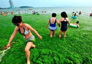 高清:青岛市区最大海水浴场遭浒苔封锁