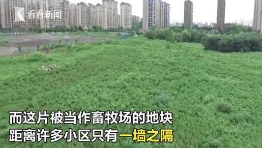 上海高档住宅区边现圈地放羊 有几只在马路上闲逛