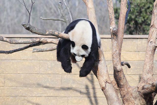 """组图:""""功夫熊猫""""树上睡觉 多样姿势萌态十足"""