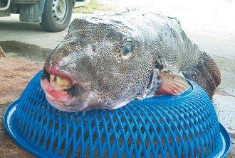 渔民捕获罕见怪鱼 长暴牙有剧毒(图)
