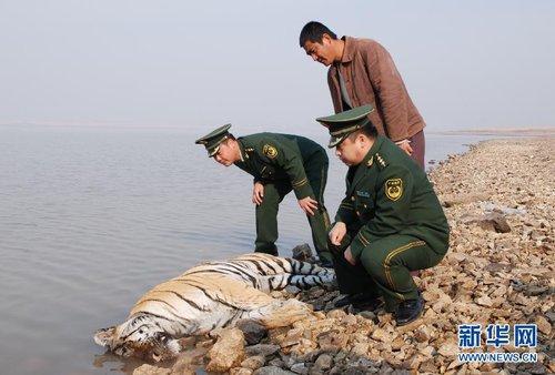 黑龙江发现一具疑似野生东北虎尸体 死因不详_新闻图站_中国广播网