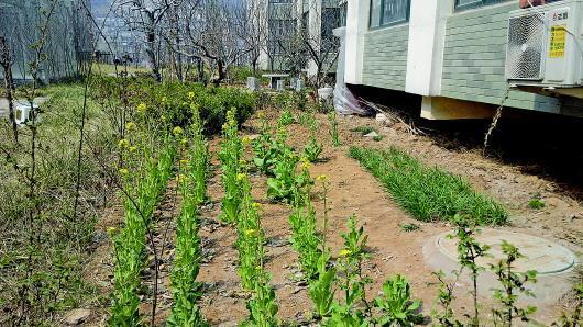 济南多个小区绿地成私家菜园 物业联合城管清理