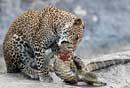 摄影师拍到豹子捕获巨蜥