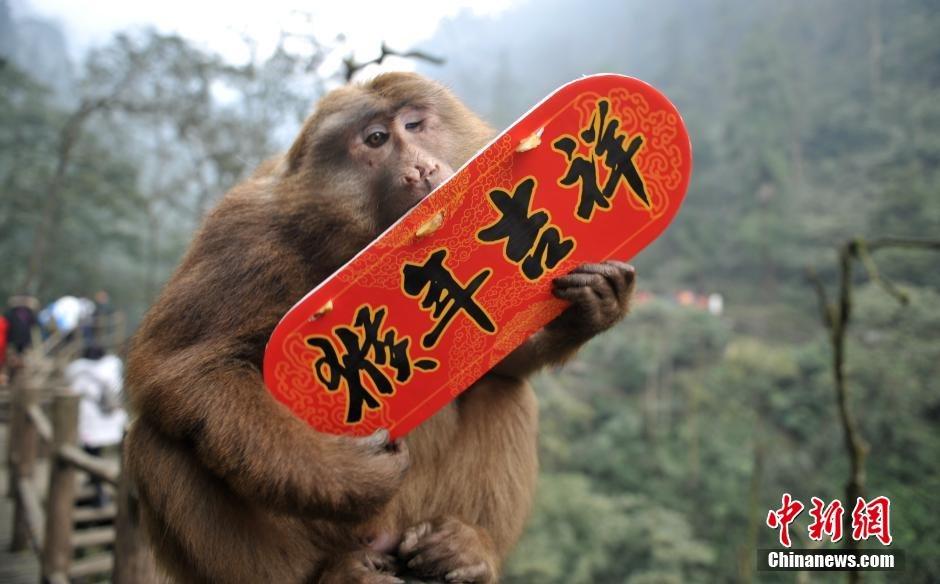 【图片报道】峨眉山群猴拿贺岁标语送新年祝福 - 耄耋顽童 - 耄耋顽童博客 欢迎光临指导
