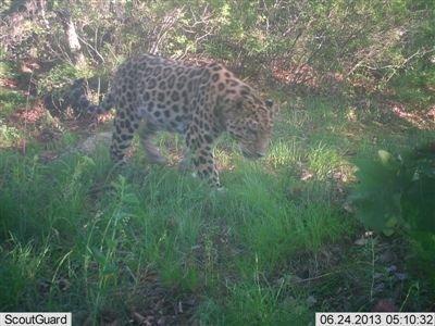 黑龙江首次用远红外拍到野生东北豹实体影像