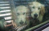 男子将5只狗关车内2月 称训练搜救犬