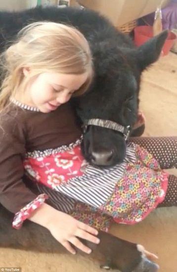美国5岁女童养奶牛当宠物 相依而眠萌煞人