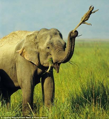 大象玛德胡瑞把蜥蜴玩偶随身携带了好多天,连吃草的时候也舍不得放下图片