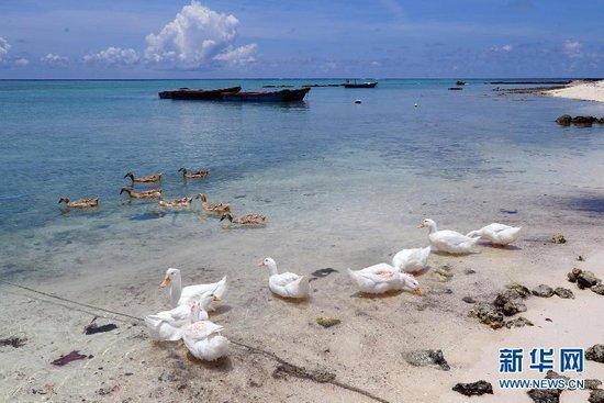 西沙赵述岛渔民饲养的鸭子。新华社发
