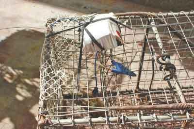 """小贩为捕猫卖钱发明""""神器"""":遥控小鸟诱猫入笼"""