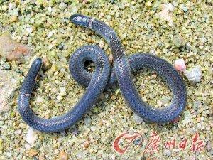 大学生深入南岭发现钝尾两头蛇(组图)