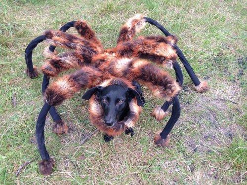 被恶作剧打扮成蜘蛛的小狗