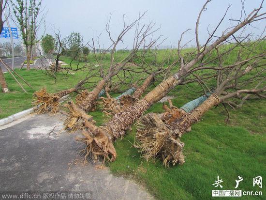南京建邺区青奥前突击栽树 目前已大量枯死