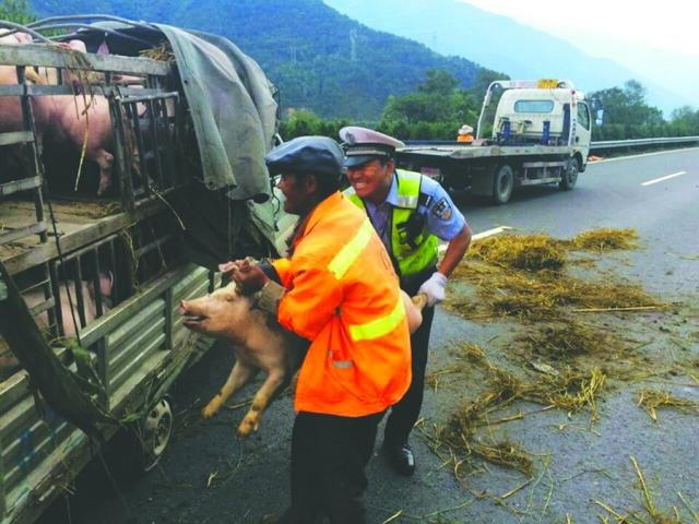 四川雅西高速公路货车侧翻 60只猪路上狂奔(图)