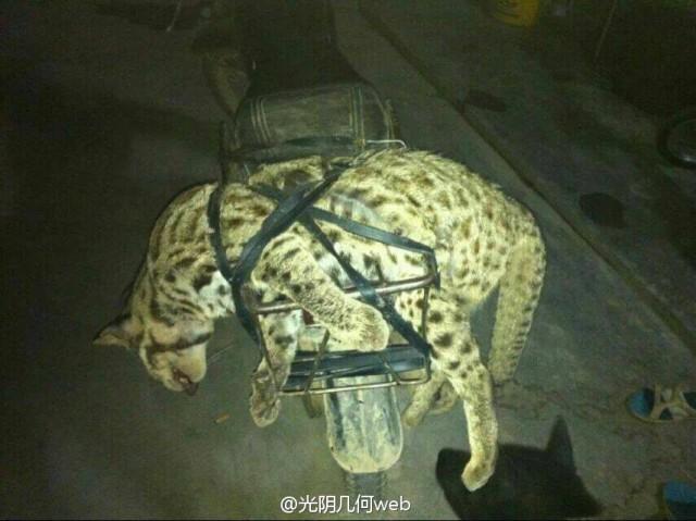 男子猎杀豹猫事件持续发酵 警方称仍在调查