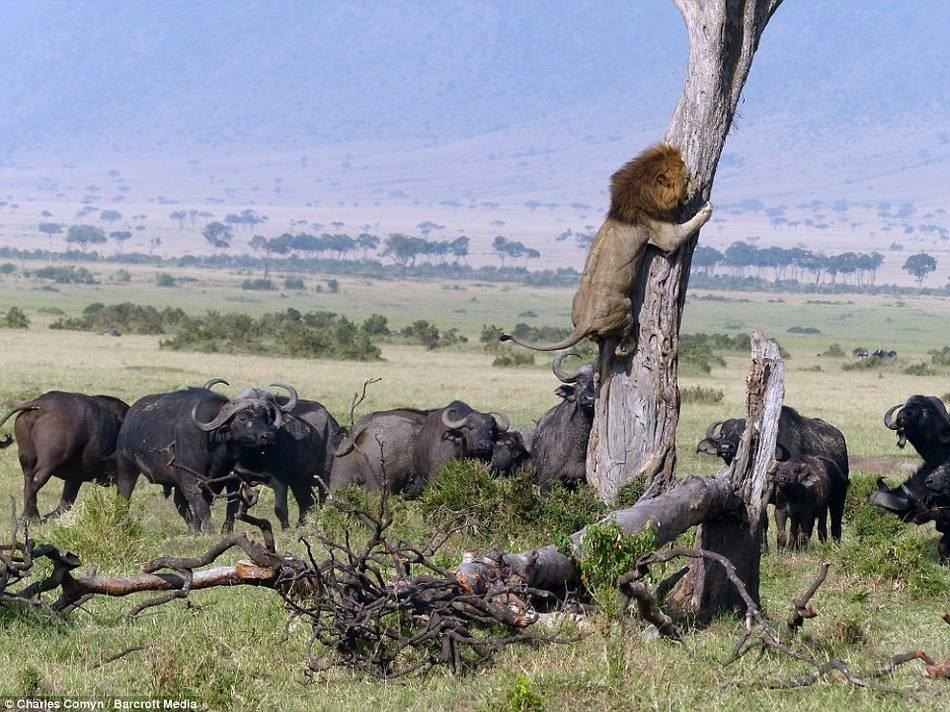 组图:狮子因被野牛群追赶而逃到树上 - 畅想人生 - 快乐生活