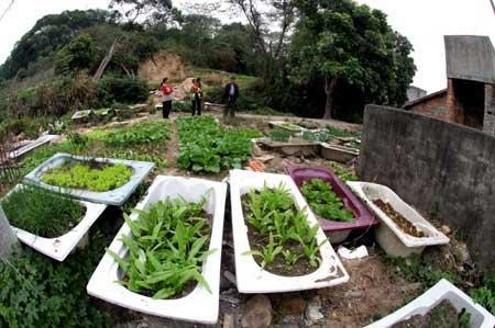 福州一小区居民因菜价涨 用废浴缸种菜吃(图)