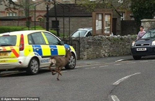 小鹿在大街上逃窜