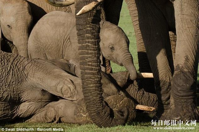 大象妈妈被偷猎者毒矛杀死,象宝宝悲痛不肯离去。