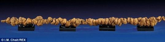 世界最长恐龙粪便化石将拍卖长1米令人称奇(图)