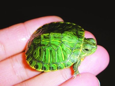 巴西龟等外来生物网上热销 专家忧其破坏生态