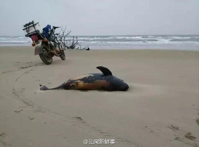 广东汕尾非法炸鱼太残忍 致4条海豚被烧死(图)
