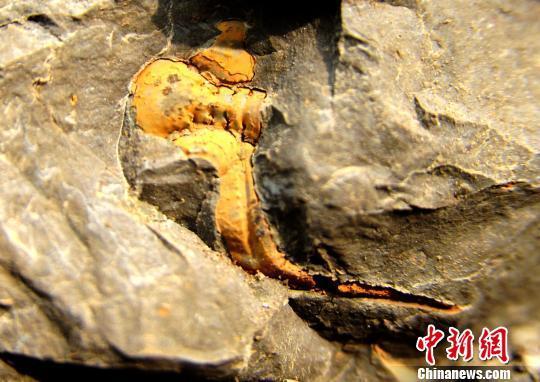 重庆酉阳发现三叶虫化石 头部触须清晰可见(图)