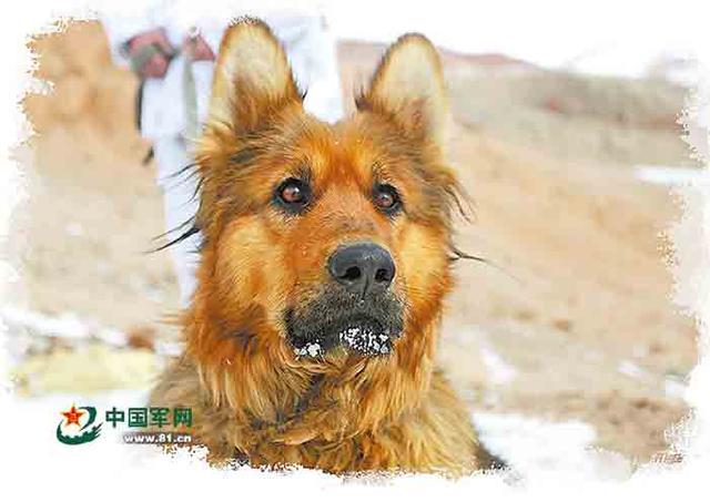 """军犬""""疯子"""":军人被困冰湖,它带来营救队"""
