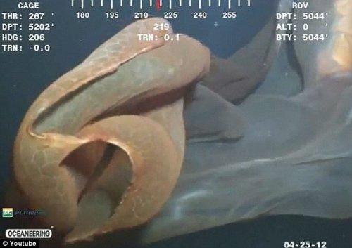 有人称其为鲸鱼丢弃的胚胎