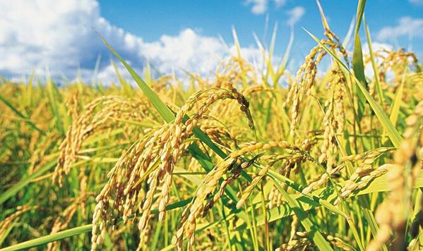 超级杂交稻为何能突破亩产2000斤大关?
