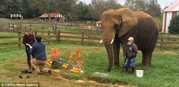 美国男子安排大象协助求婚,女友惊喜万分。(图片来源:《每日邮报》)