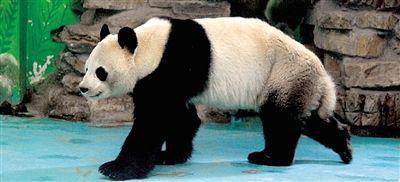 """动物园内的大熊猫""""龙升"""""""