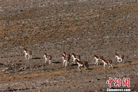 这意味着这些珍稀野生动物历经多年种群数量急剧下降后,因生态环境