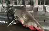 浙江渔民误捕4米长大白鲨
