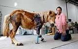 小马被妈妈踩踏前腿落残疾 装义肢获新生