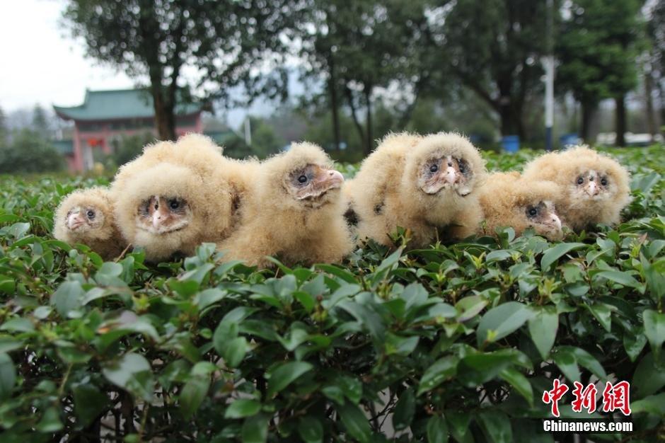 湖南道县一村民拾得六只猴面鹰 移交救护站 - 海阔山遥 - .